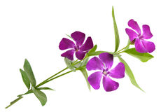 Major Vinca Royalty Free Stock Image