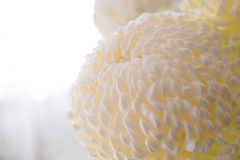 Major white flower of a chrysanthemum. Royalty Free Stock Photography