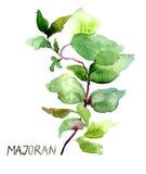 Majoran, иллюстрация акварели Стоковые Изображения RF