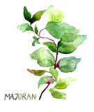 Majoran, watercolor illustration Royalty Free Stock Images