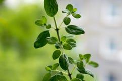 Majorana del Origanum, hojas frescas de la mejorana dulce en fondo verde Fotografía de archivo