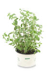 Majorana plant Stock Images