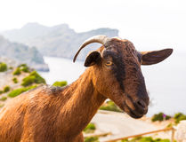 Majorca goat in Formentor Cape Lighthouse Stock Images