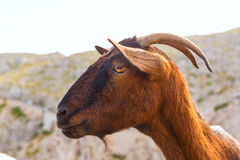 Majorca goat in Formentor Cape Lighthouse Royalty Free Stock Photography