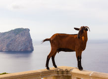 Majorca goat in Formentor Cape Lighthouse Stock Photo