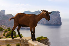 Majorca goat in Formentor Cape Lighthouse Royalty Free Stock Photo