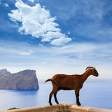 Majorca goat in Formentor Cape Lighthouse Royalty Free Stock Images