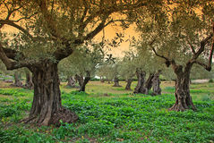 Majorca Olive Trees. Ancient Olive trees in Majorca at Sunset Royalty Free Stock Photo