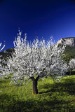 Majorca spring. Almond tree in flower with blue sky of bottom Royalty Free Stock Photos
