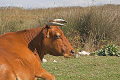 Majorcan cow Stock Photo