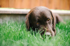 The Majorcan shepherd dog on the grass court Royalty Free Stock Photos