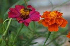 Majoren und Blumen Ringelblumen Stockfotos