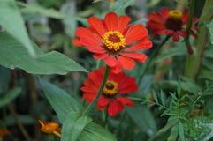 Majoren und Blumen Ringelblumen Stockbilder