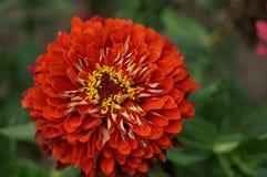 Majoren und Blumen Ringelblumen Lizenzfreies Stockbild