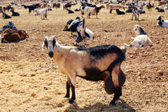 Majorera goat for cheese Fuerteventura Stock Photo