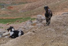 Majorera goats native to Fuerteventura in Spain Royalty Free Stock Photography