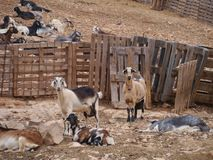 Majorera goats native to Fuerteventura in Spain Stock Photo
