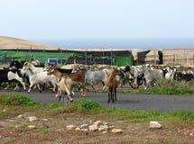 Majorera goats native to Fuerteventura in Spain Stock Photos