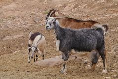 Majorera-Ziegen gebürtig nach Fuerteventura Lizenzfreies Stockfoto