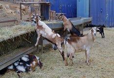 Majorera-Ziegen gebürtig nach Fuerteventura in Spanien Stockfoto