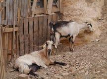Majorero山羊当地到费埃特文图拉岛在西班牙 免版税库存图片