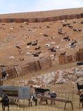 Majorero山羊当地到费埃特文图拉岛在西班牙 库存照片