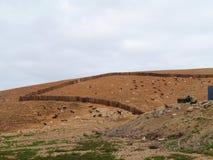 Majorero getter som är infödda till Fuerteventura i Spanien Arkivbild