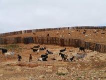Majorero getter som är infödda till Fuerteventura i Spanien Fotografering för Bildbyråer