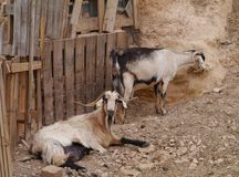 Majorero goats native to Fuerteventura in Spain Royalty Free Stock Images