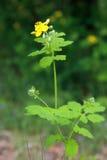 majoris lat herba цветка chelidonii celandine Стоковое фото RF