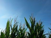 Majs, havrefält med bakgrund för blå himmel och contrail av nivån fotografering för bildbyråer