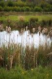 Majskolvar för Cattail för Typhaceae för sävsävReedmace Typha fluffiga Royaltyfria Foton