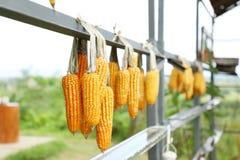 Majskolven konserverar hängande utomhus- dagljus, jordbruk och skördasäsongen royaltyfri bild