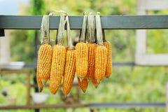 Majskolven konserverar hängande utomhus- dagljus, jordbruk och skördasäsongen arkivbild