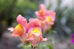Majus Antirrhinum, общее snapdragon в цветени Стоковая Фотография RF