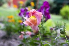 Majus Antirrhinum, общее snapdragon в цветени Стоковое Фото