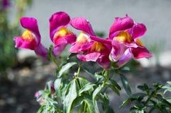 Majus Antirrhinum, общее snapdragon в цветени Стоковое Изображение