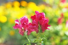 Majus cor-de-rosa do boca-de-lobo Foto de Stock