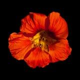 Majus de Tropaeolum, nasturce de jardin Images stock
