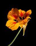 Majus de Tropaeolum, nasturce de jardin Photos libres de droits