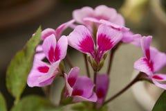 Majus rosa e bianco di antirrino Immagini Stock
