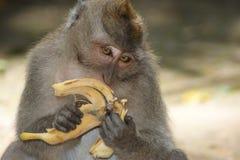 Makak-Affe im Tempel von Bali, Indonesien Stockbild