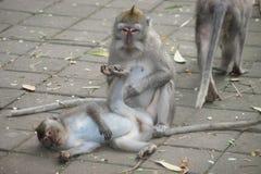 Makak-Affe im Tempel von Bali, Indonesien Stockbilder