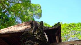 Makak małpy obsiadanie na ścianie świątynia wśrodku małpa lasu zakrywającego z kamiennym cyzelowaniem zbiory wideo