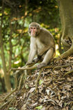 makak małpa obrazy royalty free