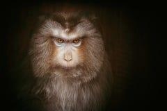 Makak małpa Zdjęcie Royalty Free