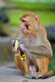 Makak małpa je banana Fotografia Royalty Free