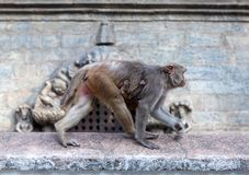 makak małpuje rhesus Fotografia Stock