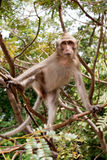 Makak małpy obsiadanie Obraz Stock