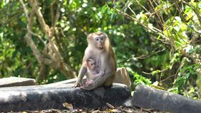 Makak monkey with albugo and cub sitting near the road in Mountain National Park in Thailand stock footage